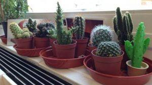 Cactus Collection Theo